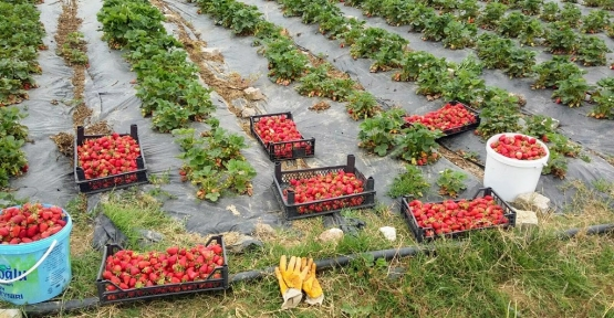 Büyükşehir'den Çiftçiye Çilek ve Kivi Bahçesi Desteği