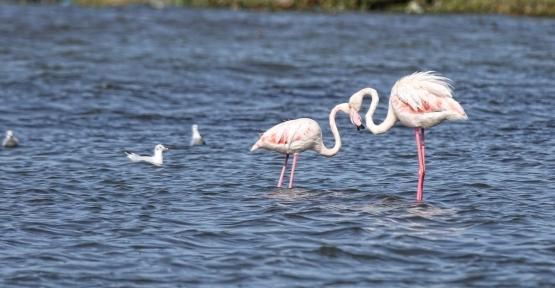 Göçmen Kuşların Tercihi İzmit Körfezi