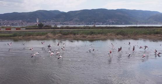 Fener Gölü'nün Misafirleri; Flamingolar