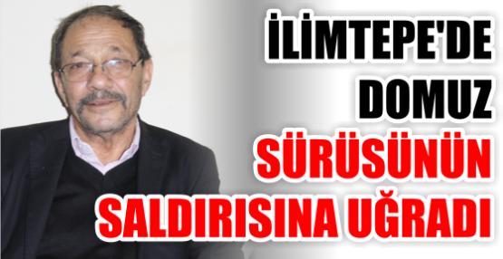 İLİMTEPE'DE DOMUZ SÜRÜNÜN SALDIRISINA UĞRADI