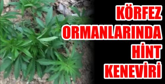 Ormanda Hint Keneviri