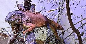 Terkedilen İguanaya Ormanya Sahip Çıktı