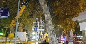 Devrilme Riski Taşıyan Çınar Ağacı...