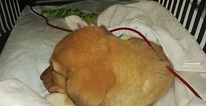 Körfez'de Köpeğe Kan Nakli Yapıldı
