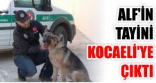 Özel eğitimli köpek Alf'in tayini Kocaeli'ye çıktı