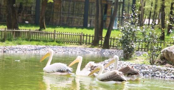 """Ormanya'nın Yeni Sakinleri """"Pelikanlar"""" Oldu"""